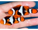 Клоун перкула пара (Amphiprion percula)