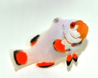Клоун Платинум- Amphiprion Percula PLATINUM   5-6 см